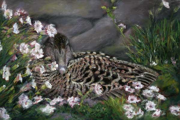 Nesting Eider, Pastel